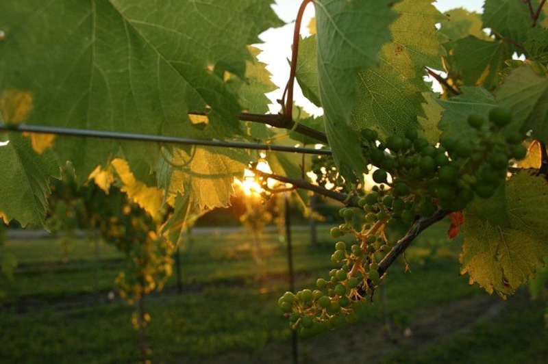 Grapes at sunset with Meadowlark